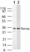 Western blot - Nanog antibody (ab47102)