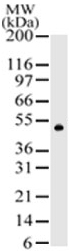 Western blot - RAP1 antibody (ab47234)
