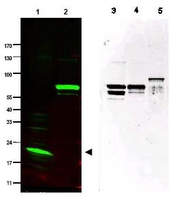 Western blot - SPANX antibody (ab47252)