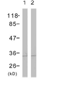 Western blot - Cdc2  antibody (ab47286)