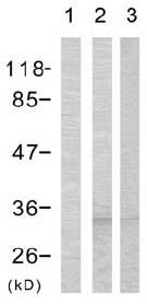 Western blot - Cdc2  (phospho T161) antibody (ab47329)