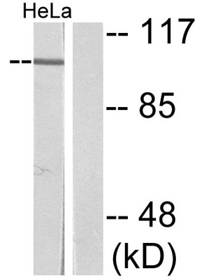 Western blot - NFkB p105 / p50 (phospho S932) antibody (ab47336)