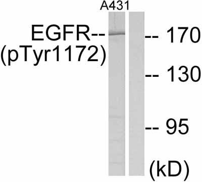 Western blot - EGFR (phospho Y1172) antibody (ab47364)