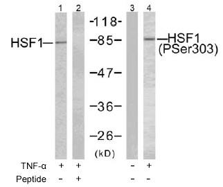 Western blot - HSF1 (phospho S303) antibody (ab47369)
