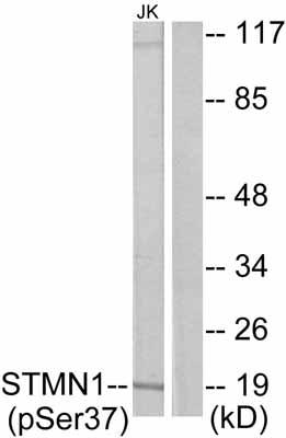 Western blot - Stathmin 1 (phospho S37) antibody (ab47399)