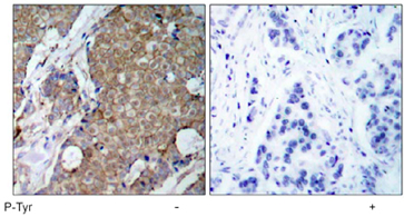 Immunohistochemistry (Paraffin-embedded sections) - Phosphotyrosine antibody [SP4] (ab47413)