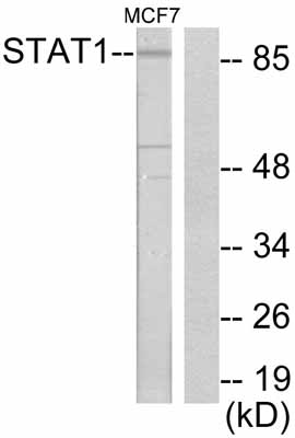 Western blot - STAT1 antibody (ab47425)