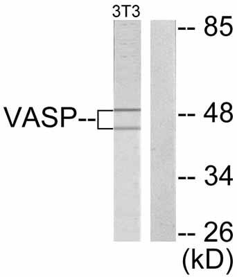 Western blot - VASP antibody (ab47461)