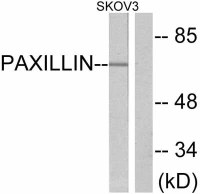 Western blot - Paxillin antibody (ab47469)