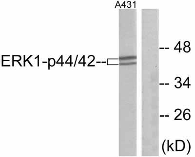 Western blot - ERK1 antibody (ab47470)