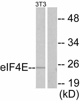 Western blot - eIF4E antibody (ab47482)