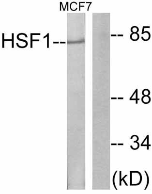Western blot - HSF1 antibody (ab47484)