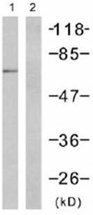 Western blot - PKR antibody (ab47509)