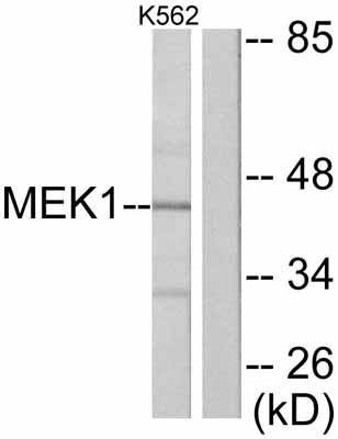 Western blot - MEK1 antibody (ab47514)