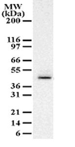 Western blot - Anti-Caspase-9 antibody (ab47537)
