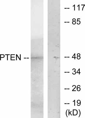 Western blot - PTEN antibody (ab47566)