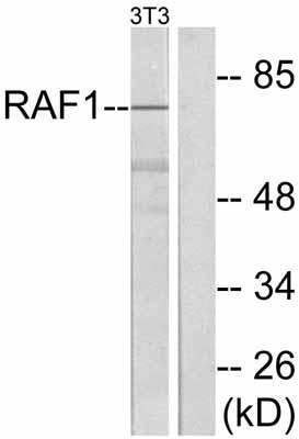Western blot - Raf1 antibody (ab47577)