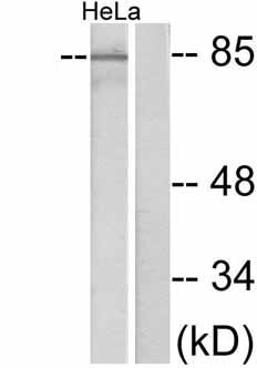 Western blot - Cortactin antibody (ab47582)