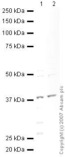Western blot - Annexin A1 antibody (ab47661)