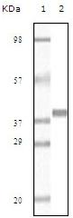 Western blot - Myoglobin antibody [6H8B5] (ab47702)