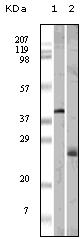 Western blot - Apolipoprotein M antibody [10C3G5] (ab47711)