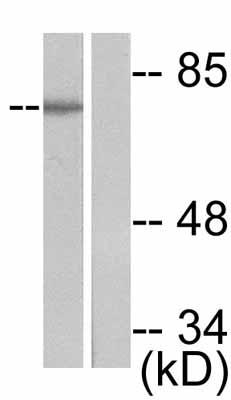 Western blot - Synapsin I (phospho S9) antibody (ab47767)