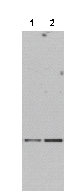 Western blot - Daxx antibody (ab47833)