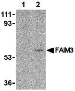 Western blot - FAIM3 antibody (ab47882)