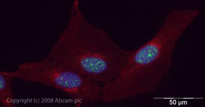 Immunocytochemistry/ Immunofluorescence - UAP56 antibody (ab47955)