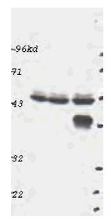 Western blot - ERK1 antibody (ab47992)