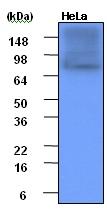 Western blot - Hsp90 alpha antibody [4F10] (ab48022)