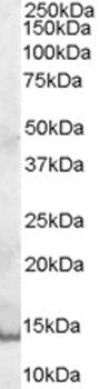 Western blot - GCDFP 15 antibody (ab48030)