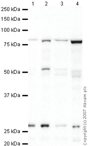 Western blot - DREF antibody (ab48355)