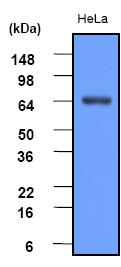 Western blot - Hsp70 antibody [4E7] (ab48515)