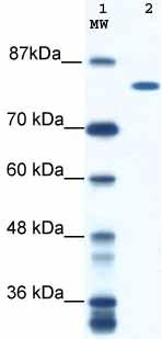 Western blot - DHX16 antibody (ab48553)