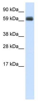 Western blot - T-bet / Tbx21 antibody (ab48787)