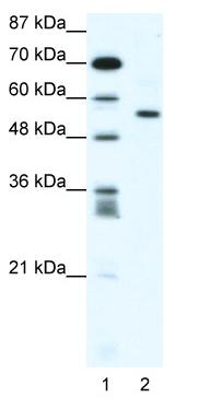 Western blot - RUNX2 antibody (ab48811)