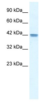 Western blot - OR13C9 antibody (ab48819)