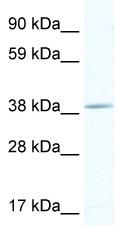 Western blot - TOB antibody (ab48826)