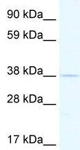Western blot - Tef antibody (ab48836)
