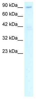Western blot - C20orf194 antibody (ab48891)