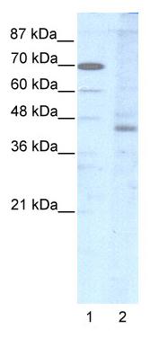 Western blot - Lhx2 antibody (ab48950)