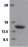 SDS-PAGE - VAMP2 protein (ab49001)