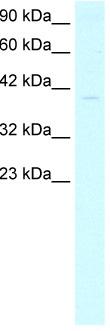 Western blot - TFIIB antibody (ab49135)