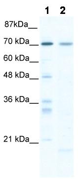 Western blot - SOX13 antibody (ab49187)