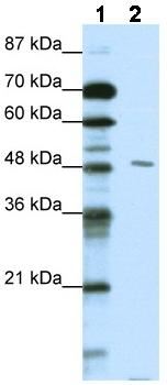 Western blot - PBX2 antibody (ab49192)