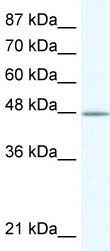 Western blot - DMAP1 antibody (ab49219)