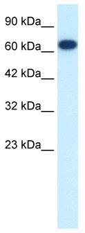 Western blot - KIF19 antibody (ab49330)
