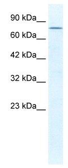 Western blot - DDX23 antibody (ab49334)