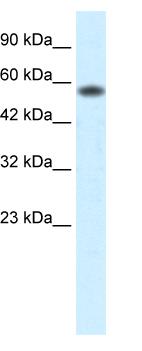 Western blot - PCYOX1 antibody (ab49347)